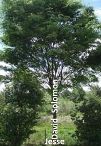 Imaginea este cum Isaia a folosit dinastia ca un pom